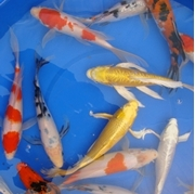 """10"""" Select Butterfly Koi - 2 ct"""